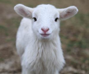 sheep and animal image
