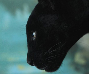 black, animal, and cat image