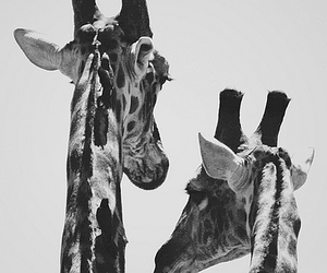 black, black and white, and giraffe image