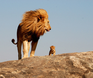 animals, lion, and lion king image
