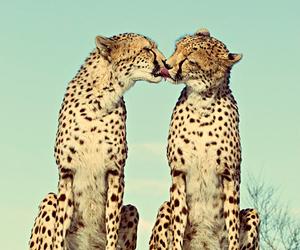 animal, cheetah, and kiss image