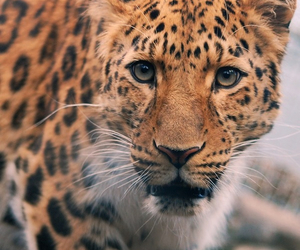 amazing, leopard, and live image