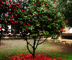 camellia, red, and flower image
