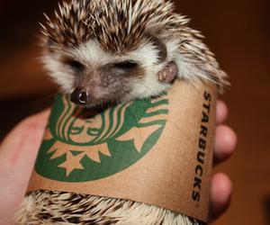 cute, starbucks, and hedgehog image