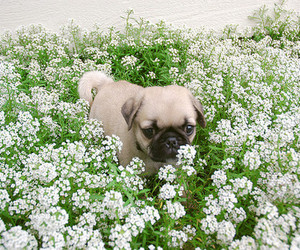 white, dog, and flowers image