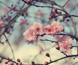 flowers, blossom, and pink image