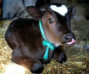 babies, calf, and farm image