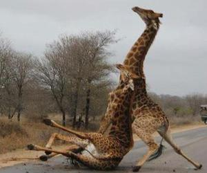 funny, drunk, and giraffe image