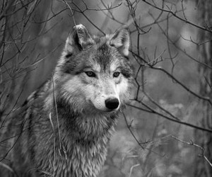 wolf and black and white image
