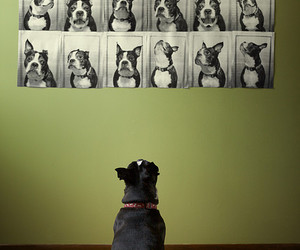 boston terrier, dustin, and cute image