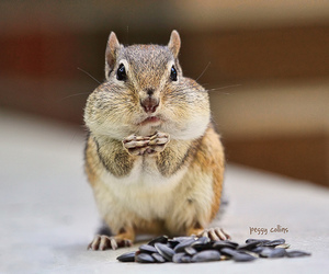 chipmunks, nuts, and dieting image
