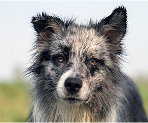 australian shepherd and dog image