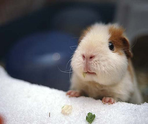 guinea pig, cavy, and cute image