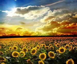 sunflower and nature image