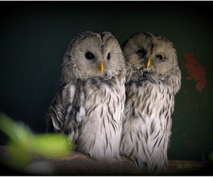 beautiful, owls, and photography image