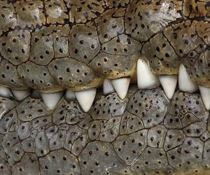 alligator, cocodrile, and fangs image