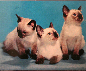 cat, kittens, and siamese cat image