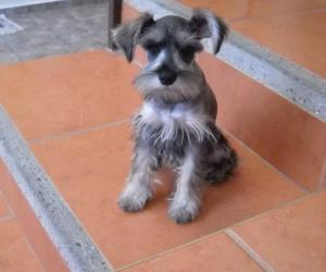 dog, pretty, and schnauzer image