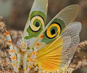 mantis image