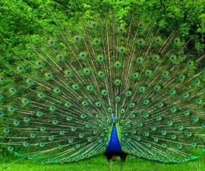 beautiful and peacock image