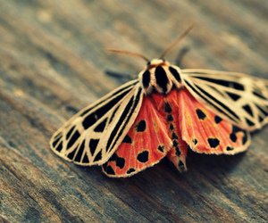 butterfly, moth, and orange image
