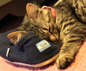 cat, toms, and cute image