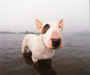 bull terrier, dog, and animals image