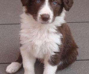 border collie, white, and dog image