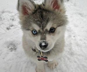 dog, husky, and precious image