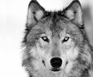 wolf and animal image