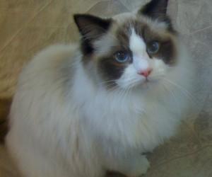 animal, blue eyes, and cat image