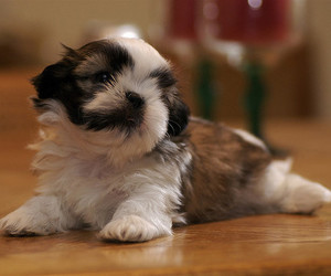 fluffy, puppy, and tiny image