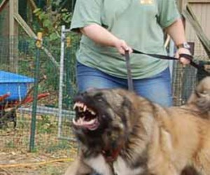 animals, caucasian shepherd, and scary' image