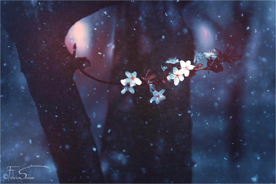 A Cherry Winter - Wallpaper by