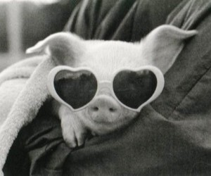 pig, sunglasses, and black and white image