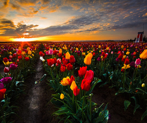 flowers, pink tulips, and purple tulips image