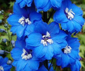 blue flowers, close-up, and delphinium image