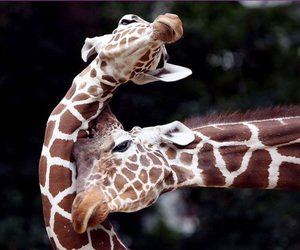 giraffe, animal, and cute image