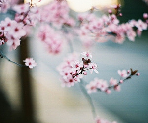 cherry blossom, lovely, and cute image