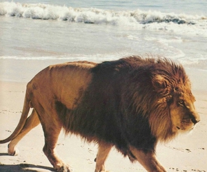 lion, beach, and animal image