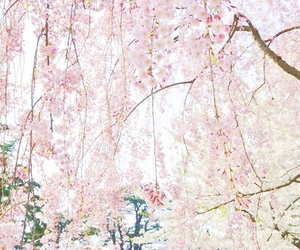 cherry blossoms and flowers image