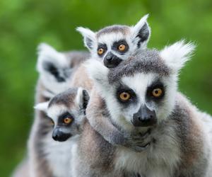 ring-tailed lemur image
