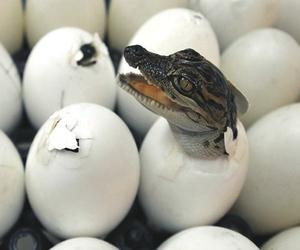 crocodile, animal, and egg image
