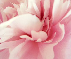 flower, rose, and blossem image
