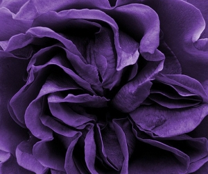 purple, flowers, and nature image