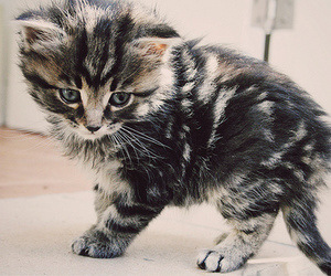 fluffy, kitten, and cat image