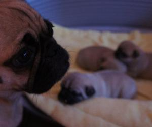 baby, dog, and pug image
