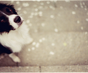border collie and cute image