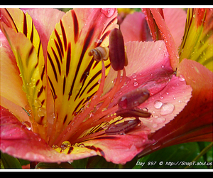 lilys, pink lily, and rain images image