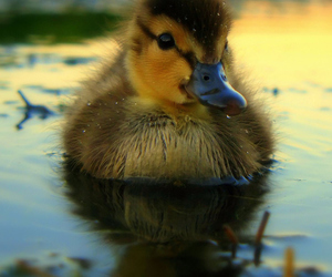 baby, duck, and duckling image